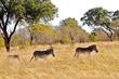 zebra family.jpg