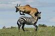 Eland jumping Zebra 1.jpg