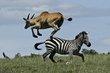 Eland jumping Zebra 2.jpg
