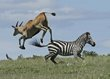 Eland jumping Zebra 3.jpg