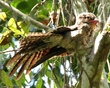 Common Potoo - called a Stick Bird.jpg