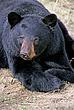 BLACK BEAR 01.jpg