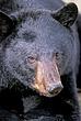 BLACK BEAR 021.jpg