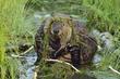 Beaver 150991.jpg