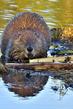 Beaver 17168.jpg