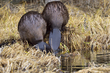 Beavers 17141.jpg