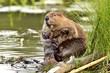 Beaver 14790.jpg