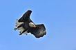 Bald Eagle 13742.jpg