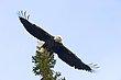 Bald Eagle 99805.jpg