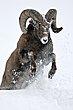 Bighorn Sheep 99.jpg