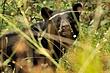 Black Bear 11352.jpg