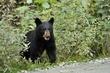 Black Bear 11355.jpg