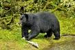 Black Bear 11410.jpg