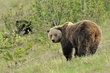 Grizzly Bear 12705.jpg