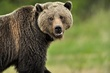 Grizzly Bear 12708.jpg