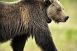 Grizzly Bear 12710.jpg