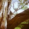 Forked Tree.jpg