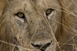 09-Male Lion Closeup (0678).jpg