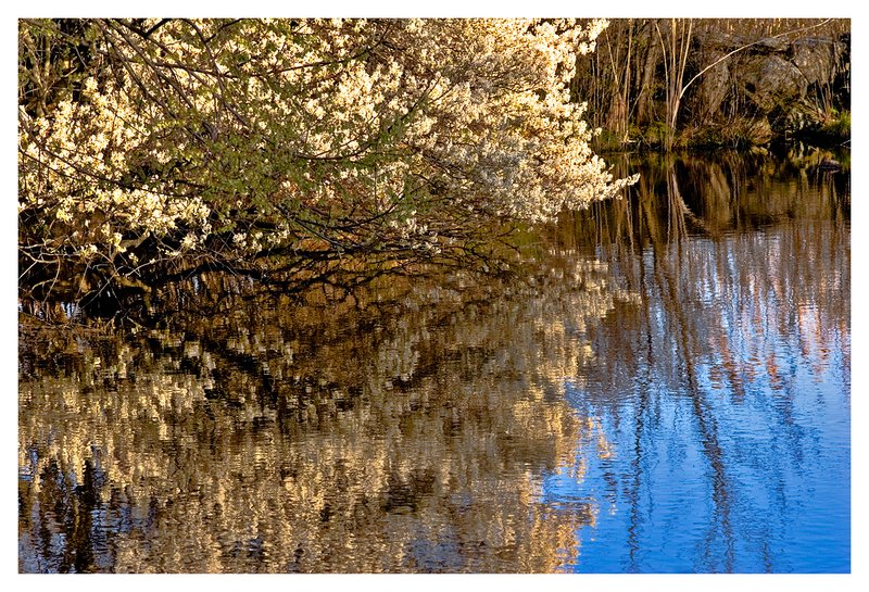 Haley Farm pond.jpg :: Noank - Spring flowering bushes reflected in a pond at Haley's Farm.