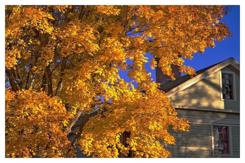 Maple-in-Bright-Sun.jpg