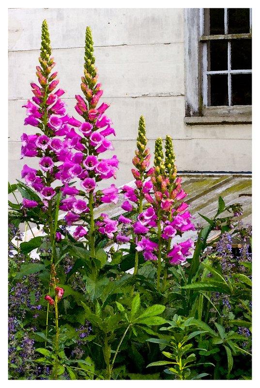 Purple-Foxgloves-in-Bloom.jpg