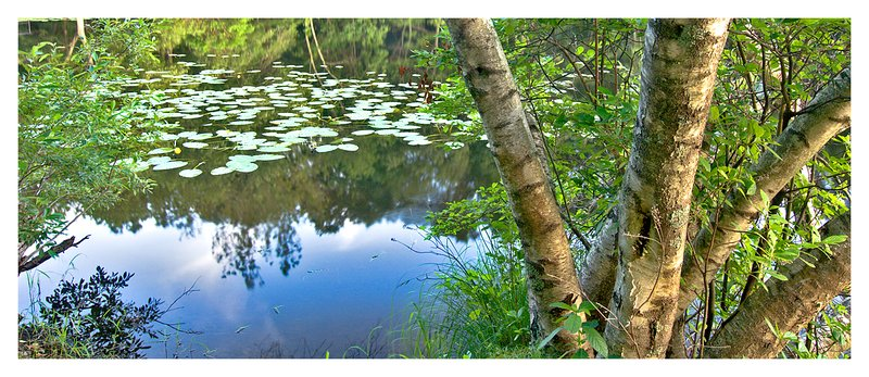 birch tree-pond.jpg :: Ledyard - Summer vegetation is reflected in a small tranquil pond