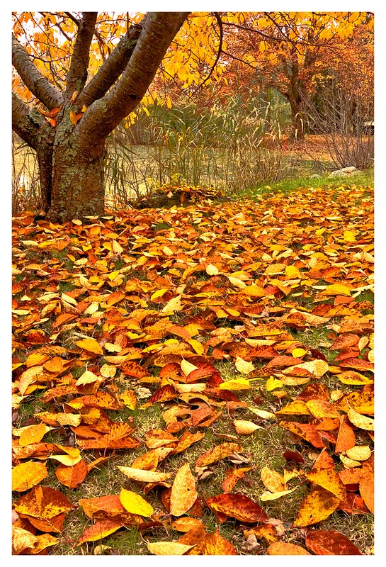 cherry tree leaves.jpg :: Stonington - Leaves of a cherry tree cover the ground on a misty day