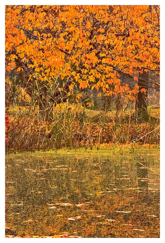 duck pond.jpg :: Stonington Ct. An early morning mist accentuates the colorful leaves of cherry trees reflected in a pond