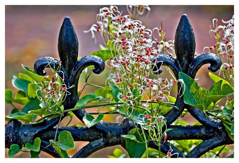 iron fence and vine.jpg
