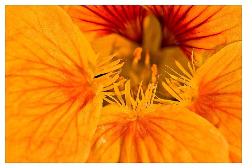 nasturtium closeup.jpg