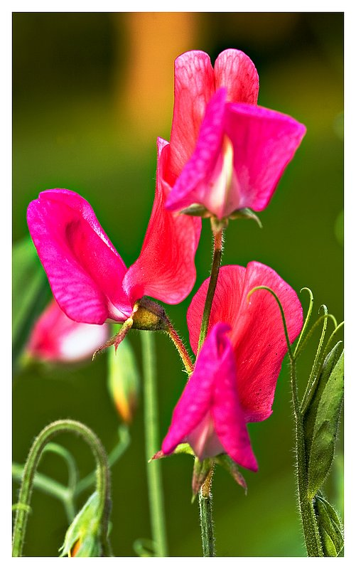 red-sweet-peas-.jpg