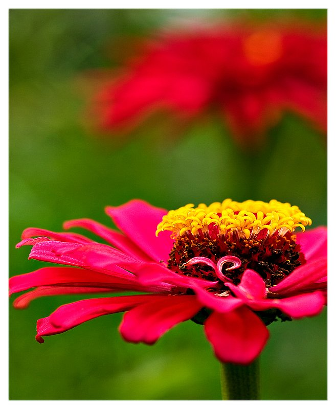 red-zinnia-.jpg