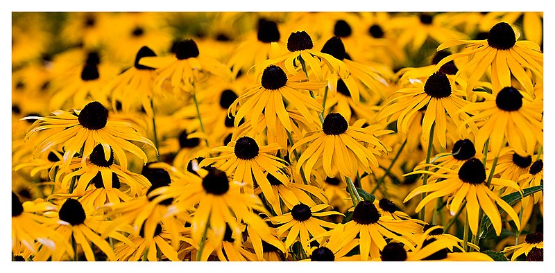 rudbeckia.jpg :: North Stonington - Black -eyed - Susan's after a summer shower.