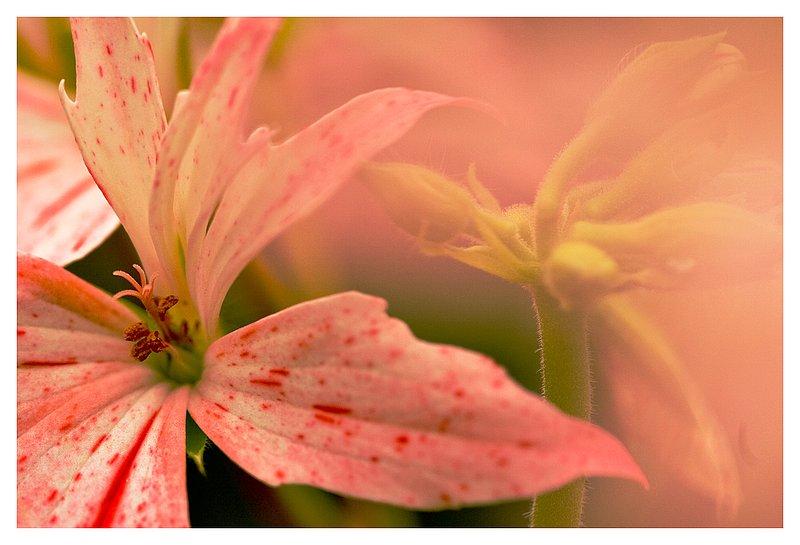 star-geranium.jpg