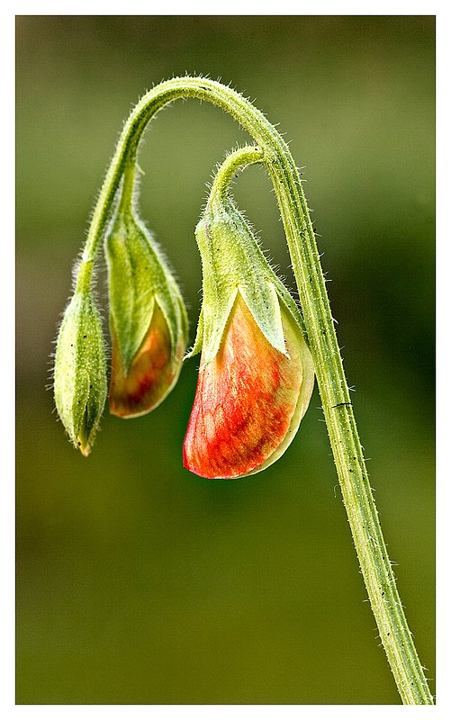 sweet-pea-buds-.jpg