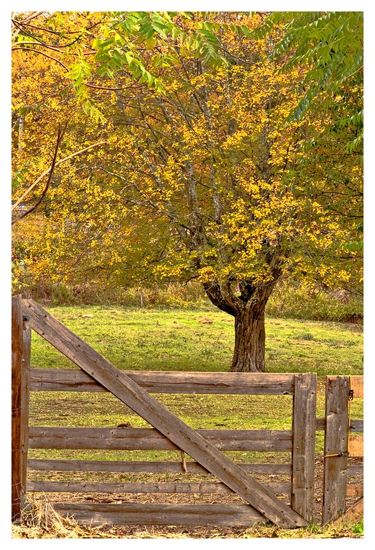 wood fence-maple tree.jpg :: Old Mystic - An overcast day soften the colors of this pastoral scene.