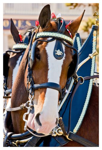 Clydesdale-2.jpg