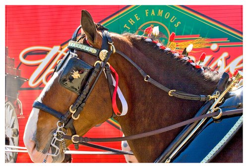 Clydesdale-close-up.jpg