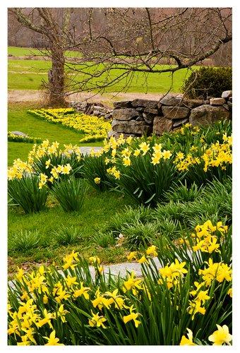 Daffodils-on-a-Rainy-Day.jpg