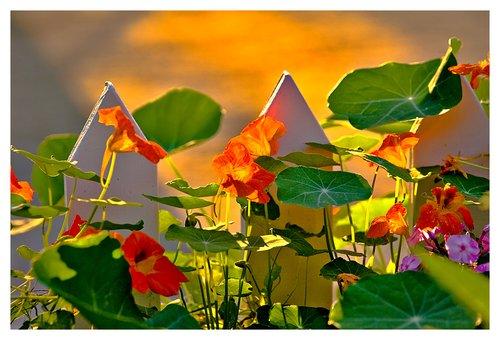 backlit nasturtiums.jpg