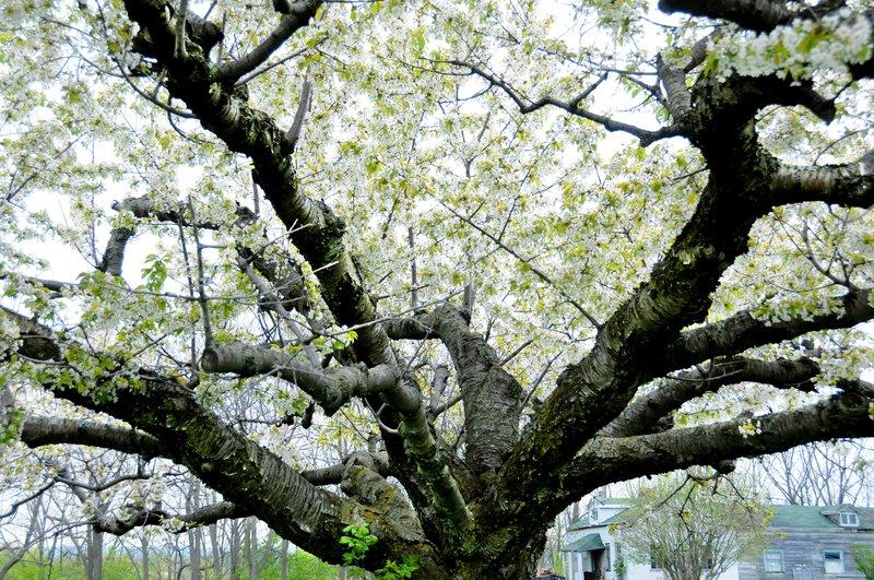 Cherry Tree (4).jpg