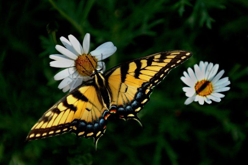 Two-Tailed Swallowtail - Papilio multicaudatus.jpg