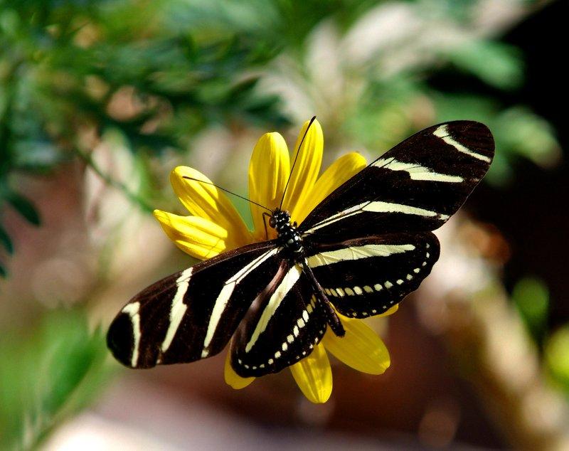 Zebra Longwing - on Yellow.jpg