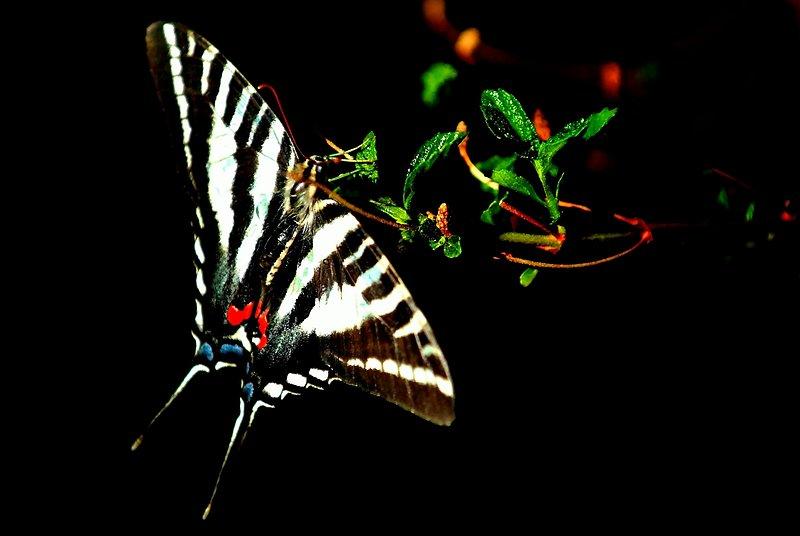 Zebra Swallowtail - Eurytides marcellus.jpg