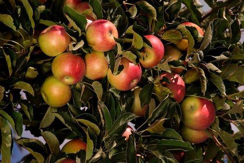 Apples Grow Niagara W.jpg