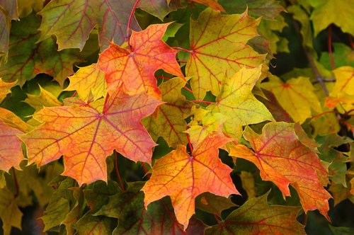 Fall Leaves Niagara W.jpg