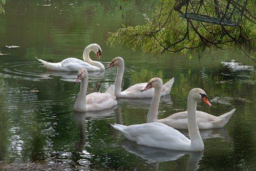 Family of Swans Niagara W.jpg