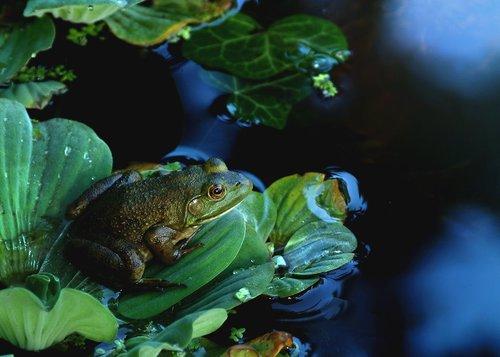 Frog Pond Niagara W.jpg