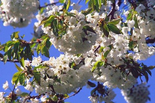 Fruit Blossoms Niagara W.jpg