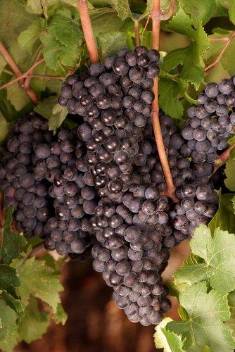 Grapes Niagara (15) W.jpg